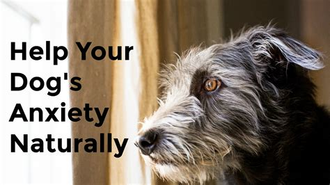 helping dogs with separation anxiety help for your s separation anxiety dogs naturally magazine