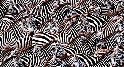 zebra pattern camouflage camouflage cultural infusion