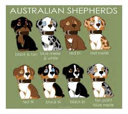 what are australian shepherds like australian shepherd