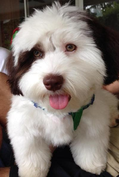 havanese dogs for sale in iowa best 25 small dogs for sale ideas on tiny dogs for sale small puppies