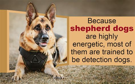 types of shepherd dogs do you numerous types of strong and sturdy shepherd dogs