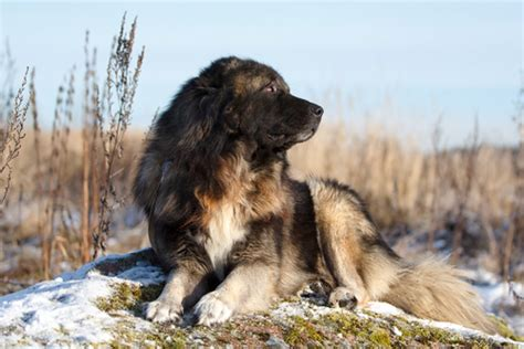 russian breeds 10 breeds from russia iheartdogs