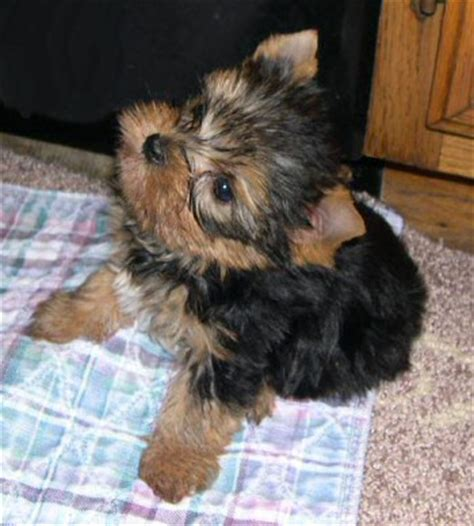 yorkie terrier puppies for adoption gorgeous terrier puppies for adoption
