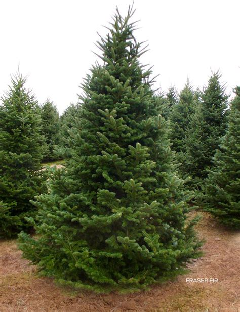fraser fir christmas trees delivered anthony gallo nursery roses delivered to brooklyn