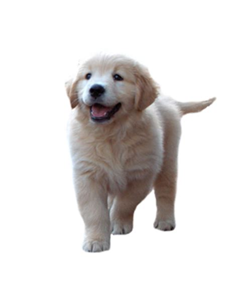 golden retriever puppies nsw bluebreeze kennels golden retriever dogs and puppies