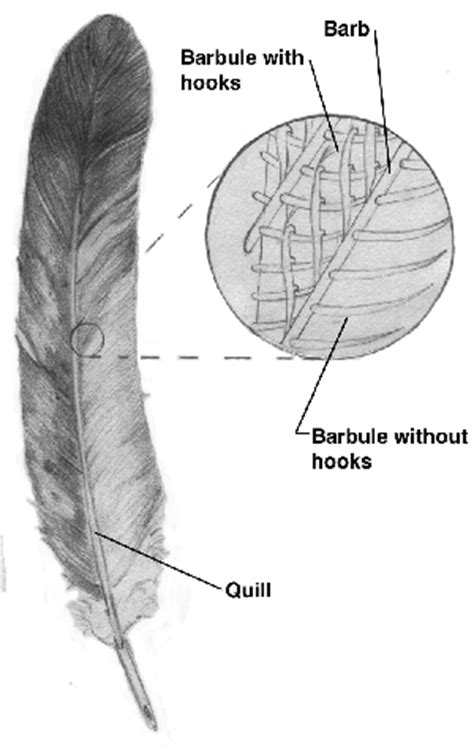 feather diagram biology write up biology articles integument of birds