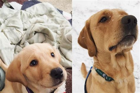 puppies buzzfeed 19 pictures of grown up puppies that will make you literally cry