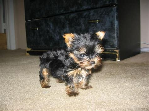 yorkies babies baby yorkie animals