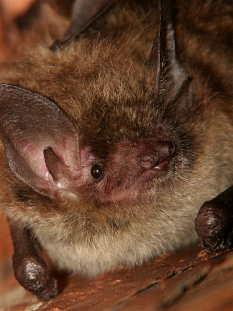 little brown bat bat facts and information