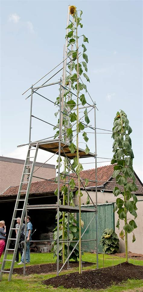 tallest sunflower guinness world records