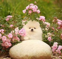 how does a pomeranian live 1000 ideas about pomeranian for sale on pomeranian puppies for sale