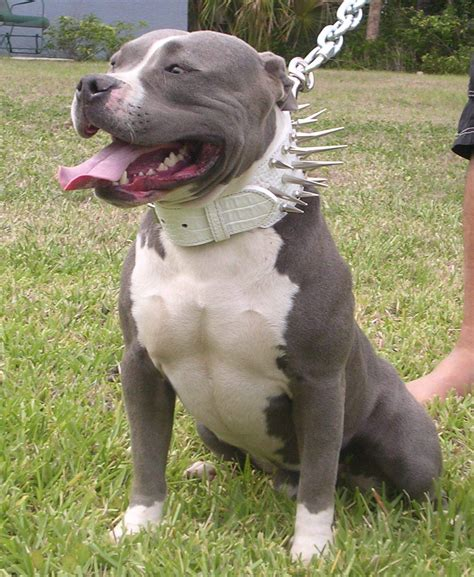 A Pit Pit Bulls The Of A Divorce Diaryofadogpusher