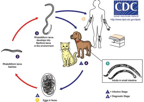 earthworm cycle diagram are hookworms in your soil 171 wondercide
