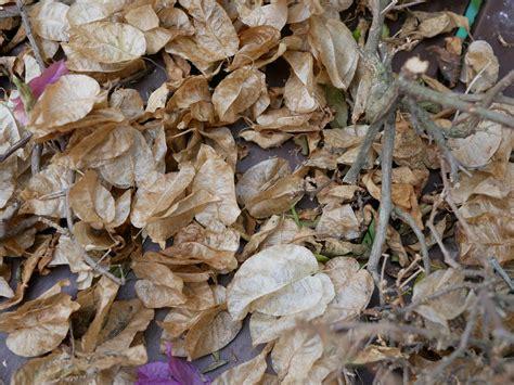 Bougainvillea Pflanze Winterhart 6740 by Bougainvillea Winterharte Bl 252 Tenpracht Oder Aufw 228 Ndig