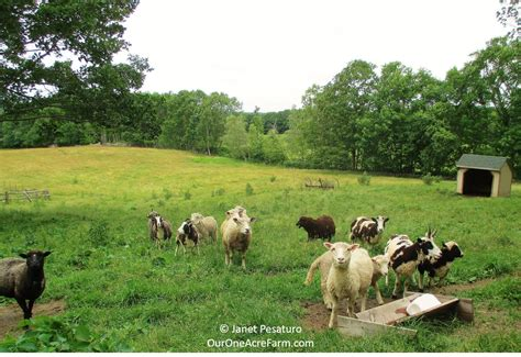 Backyard Cattle Raising by Deciding What To Raise On Your Homestead