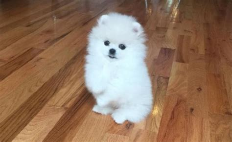 cutest pomeranian in the world attention this is winnie the cutest pomeranian in the world shemazing