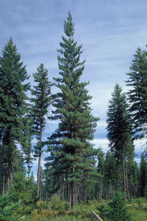 The Pine Tree western white pine