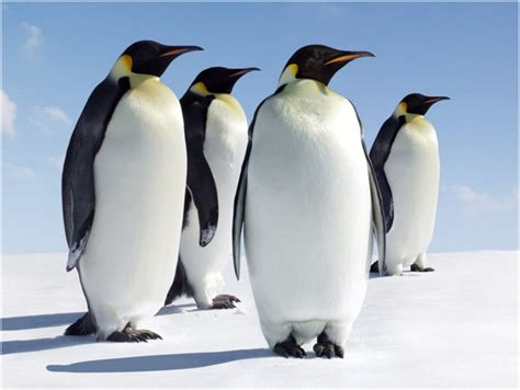 8 Facts On Penguins by Emperor Penguin Facts Pictures Habitat Diet