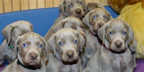 weimaraner puppy for sale camelot weimaraner puppies for sale located in ri new