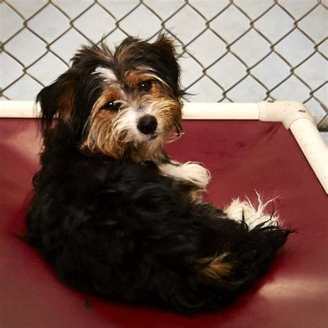 rescue tulsa 81 best ideas about dogs on adoption yorkie and dandie dinmont terrier