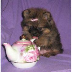teapot pomeranian puppies pomeranian puppy them puppy fluffy babies