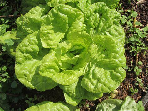 alimenti litio alimenti biologi litio quot nascosto quot in patate lattuga