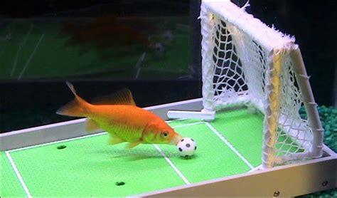 vasca pesce rosso anche i pesci giocano a calcio petpassion