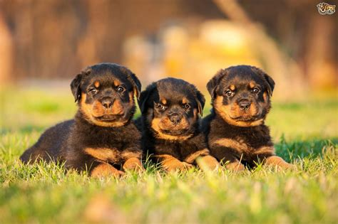 rottweiler puppies cost rottweiler breed information buying advice photos and facts pets4homes