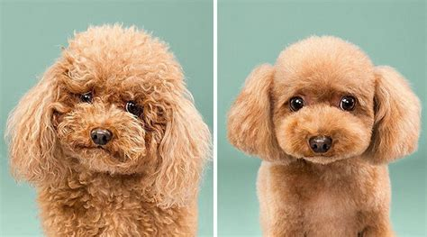 before and after getting your puppy before and after photos of grooming transformations