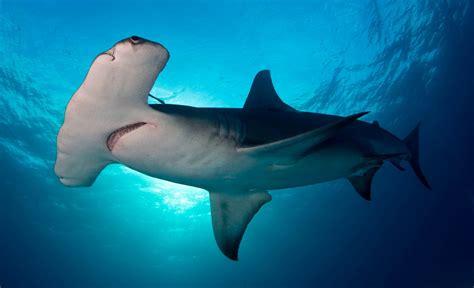 imagenes sorprendentes tiburones galer 237 a de im 225 genes tiburones en el mediterr 225 neo