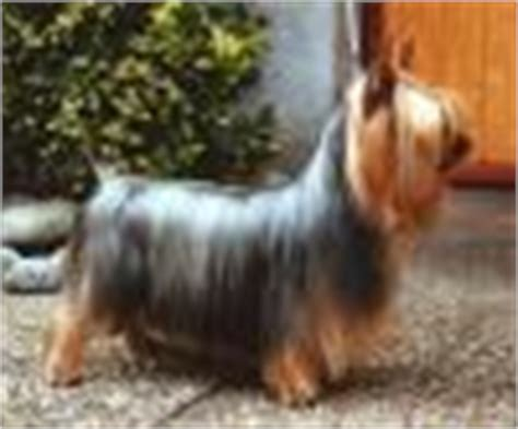 difference between a silky and yorkie difference between and silky and a yorkie yorkietalk forums terrier