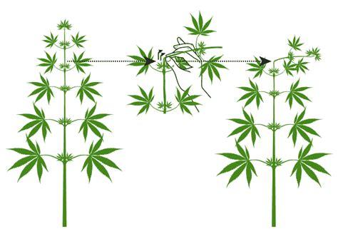 tutos la taille du cannabis