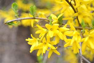 Decorate Your Home For Cheap How To Propagate Forsythia From Cuttings Ebay
