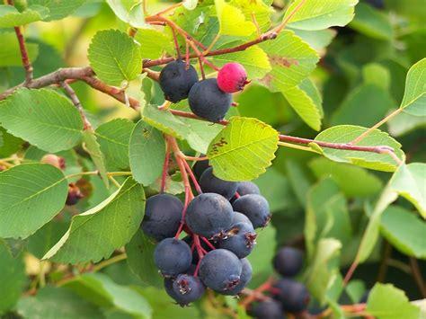 fruit d aulne horticulture les fournisseurs grossistes et fabricants