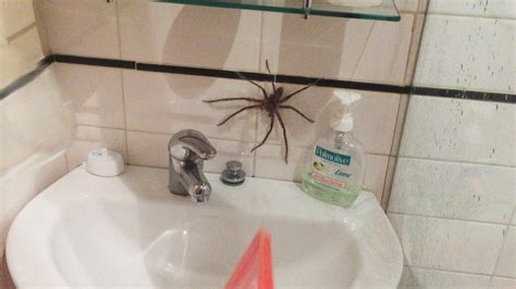 world s biggest spider and giant spiders topbestpics com