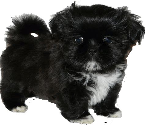 shih tzu puppies for sale in utah enchanted mountain shih tzu and imperial breeder of shih tzu and