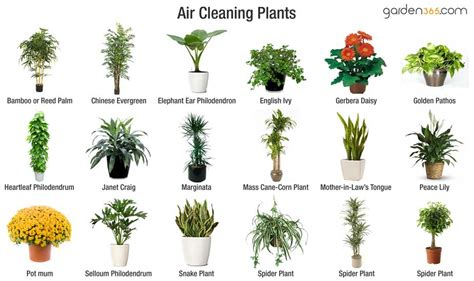 indoor plants to clean air best air cleaning plants garden365