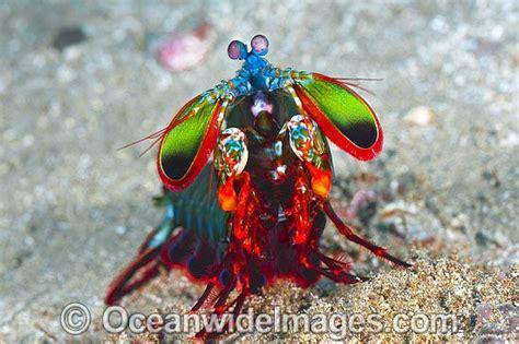 mantis shrimp colors mantis shrimp ability to detect sixteen colors as well