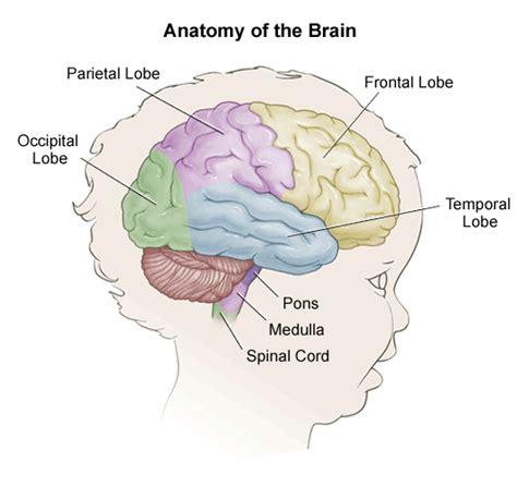 Brain Child anatomy of a child s brain