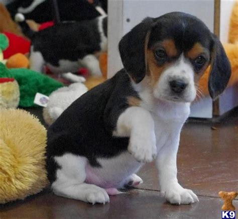 miniature beagle puppies 17 best ideas about mini beagle on beagle puppies pocket beagle puppies