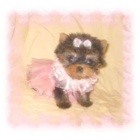 teacup yorkie rescue terrier yorkie breeders in freedoglistings