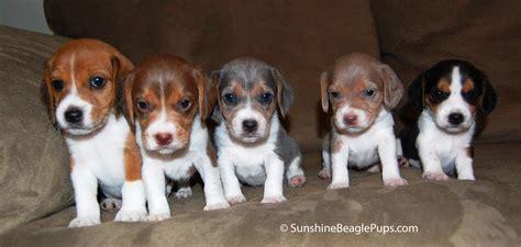 free beagle puppies brown beagle 25 free wallpaper dogbreedswallpapers