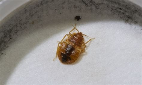 where can bed bugs live can bed bugs live in cold weather debugged