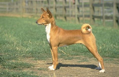 basenji puppies for sale nj basenji pictures