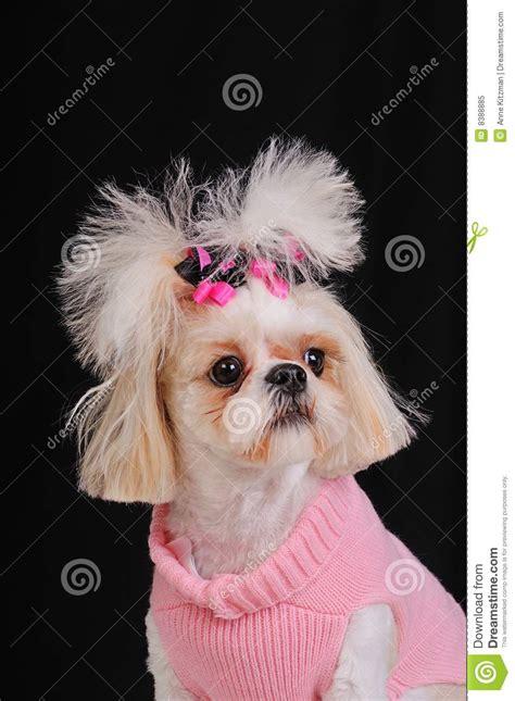 shih tzu perro precio perro de shih tzu foto de archivo libre de regal 237 as imagen 8388885