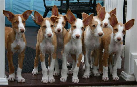 ibizan hound puppies wire ibizan hound litter sighthounds ibizan hound and