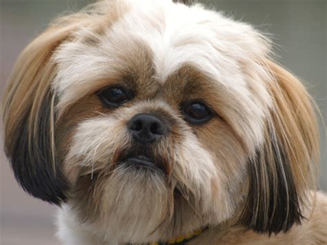 Lhasa Apso Shedding by Breed Lhasa Apso And Miniature Dachshund Breeds Picture
