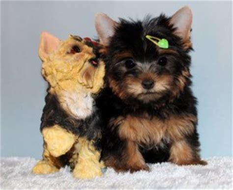 free yorkie puppies in missouri dogs missouri free classified ads