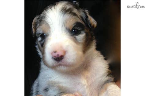 mini australian shepherd puppies ohio miniature australian shepherd puppy for sale near toledo ohio 86c4f479 7cd1