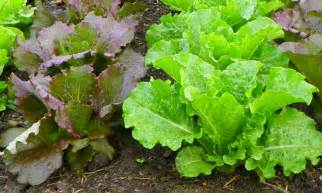 Types Of Lettuce To Grow In Garden - growing lettuce in fall north carolina cooperative extension